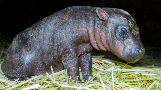 baby hippo on some hay